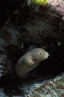Juvenile Moray Eel