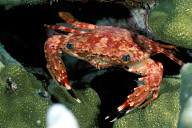 Hawaiian Swimming Crab