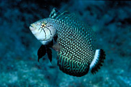 Dragon Wrasse (Teenage)