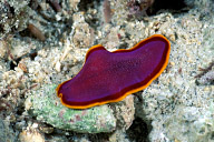 Fuchsia Flatworm