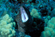 Angry Whitemouth Moray Eel