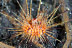 Fire Urchin