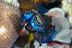 Mating Mandarinfish