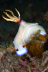 Hypselodoris bullocki Nudibranch