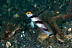 Black-Rayed Shrimpgoby