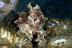 Juvenile Cuttlefish
