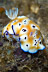 Chromodoris leopardus Nudibranch