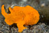 Angling Juvenile Frogfish