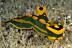 Tambja gabrielae Nudibranch