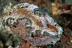 Glossodoris cincta Nudibranch