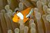 Oscellaris Clownfish