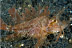 Ambon Scorpionfish
