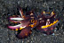 Juvenile Flamboyant Cuttlefish