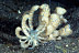 Phyllodesmium longcirrum (Solar Powered) Nudibranch