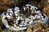 Glossodoris Orgy