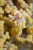 Yellow Bargibanti Pygmy Seahorse