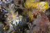 Phyllognathia ceratophthalmus (Tiger) Shrimp