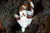 Juvenile Clown Frogfish