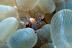 Vir philippensis Shrimp