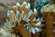 Phyllodesmium kabiranum Nudibranch