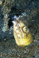 Black-Finned Snake Eel with Shrimp