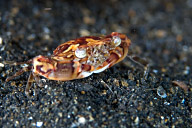 Lissocarcincus Crab