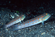 Orange-Dashed Gobies