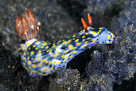 Hypselodoris obscura Nudibranch