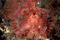 Rhinopias (Lacy Scorpionfish)