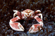 Porcelain Crab