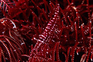 Crinoid Shrimp
