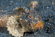 Unknown Scorpionfish