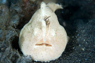 Juvenile Striated Frogfish