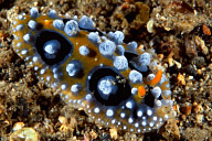 Phyllidia ocellata Nudibranch