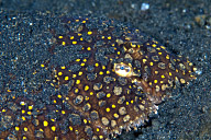 Peacock Flounder