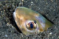 Strange Sand Dwelling Fish