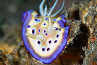 Chromodoris kunei Nudibranch