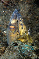 Black-Finned Snake Eel