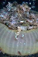 Periclimenes magnificus Shrimp in Soft Coral