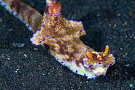 Emperor Shrimp on Ceratosoma tenue Nudibranch