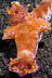Ceratosoma tenue Nudibranch