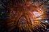 Fire Urchin