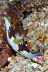 Nembrotha rutilans Nudibranch