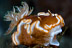Glossodoris rufomarginata Nudibranch
