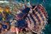 Dwarf Lionfish