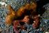 Orangutan Crab Pair