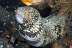 Snowflake Moray Eel