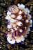 Mexichromis multituberculata Nudibranch