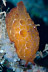 Pleurobranchus forskalii