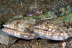 Lizardfish Pair